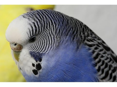 Болезни попугаев. Симптомы. Лечение