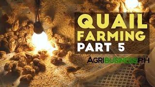 Quail Farming, Breeding And Hatchery | Quail Farming Part 5 #Agribusiness