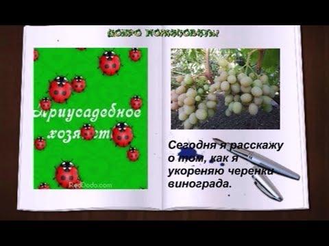 Как укоренить черенки винограда  Подготовка черенков к укоренению