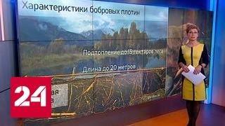 """""""Погода 24"""": в Калининградской области призвали истреблять бобров"""