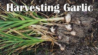 Harvesting And Curing Hardneck Garlic