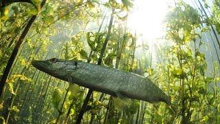 Как поймать щуку травянку в карманной рыбалке