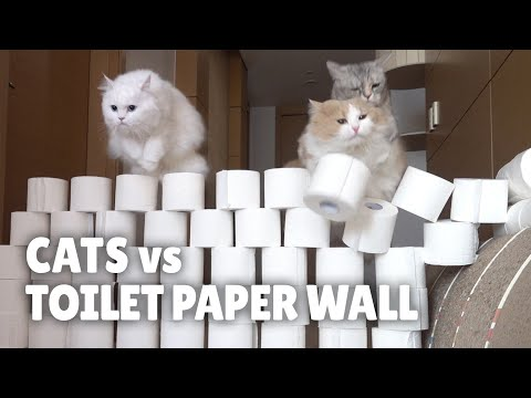 בסרטון המצחיק הזה תראו מה קורה כשחתולים צריכים לעבור קיר נייר טואלט...