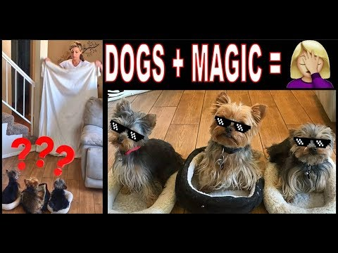 What The Fluff Challenge YORKIES | Dog Magic