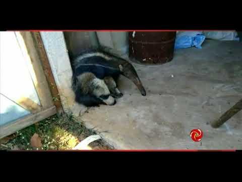 Tamanduá bandeira é resgatado em Alterosa