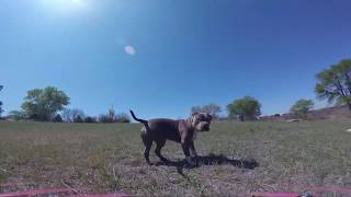 American Bully exercise part 1 FPV Freestyle