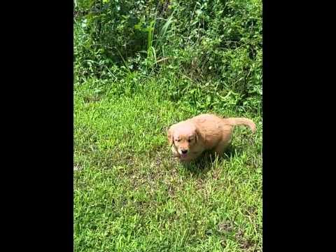 Preston Golden Male Pup