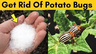 Get Rid Of Potato Bugs inside the House and Protect Them from Pests