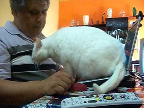 Gato pedindo atenção