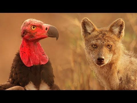 Vultures Vs Crow Vs Jackal | Lands of the Monsoon | BBC Earth
