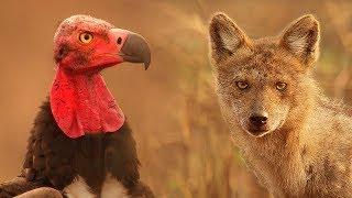 Vultures Vs Crow Vs Jackal | Lands Of The Monsoon | BBC Earth