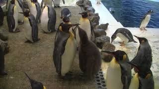 #3-36 April 2018 king penguin at Adventure world, Japan