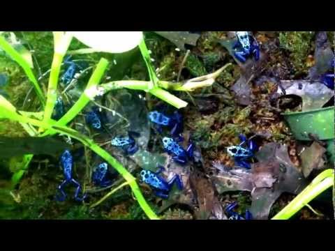 21 Azureus Dart Frogs at feeding time
