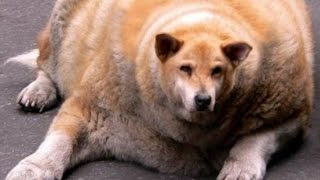 Funny Dogs Compilation ► Funny Dog Videos 2015 Try Not To Laugh Funny Animals