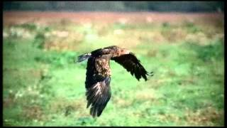 Common Buzzard catching rat + air combat with eagle