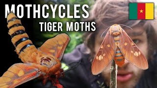 Moths  & Conservation: Tiger Moths from Cameroon, Africa - Balacra caeruleifascia - Mothcycles 5