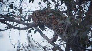 Leopard frightens locals at Gothatar (photo/video)