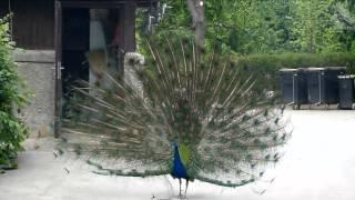 Blauer Pfau zeigt sein Rad