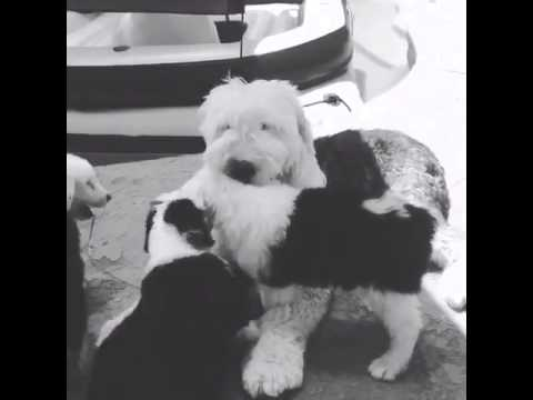 OES Puppies playing with Auntie