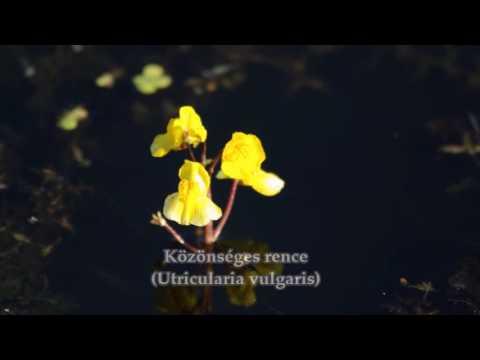 Papilloma vírus és veszélyes vakcina
