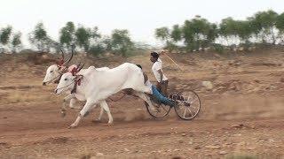 Abhyala #1 Bulls   Lokapur Suthubandi Race Winners