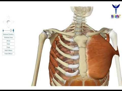 Sgibanii de lépaule participe le muscle
