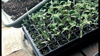 Starting Tomatoes From Seed