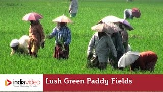 Lush green paddy fields of Kerala