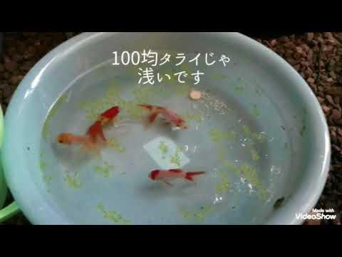 金魚の水槽【琉金】2017年8月25日