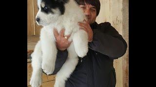 Вес щенка азиатской овчарки в 2 месяца и 10 дней.