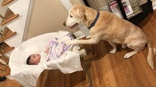 Labradors Love To Play With Сhildren And Baby Compilation