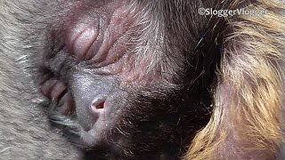 More Cute Footage Of The New Born Yellow Breasted Capuchin
