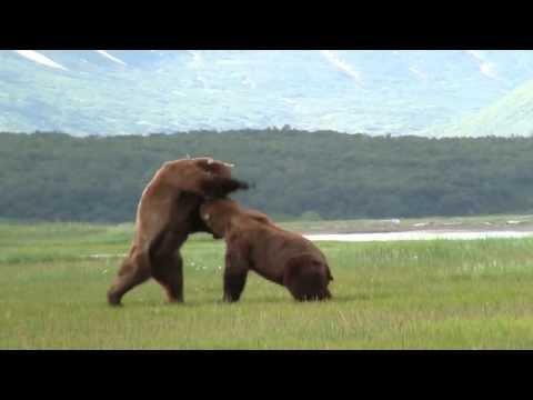 Medvědí bitva