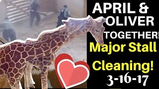 Now That's TEAMWORK! April & Oliver Share a Pen & Nuzzle as Staff Clean House! April the Giraffe