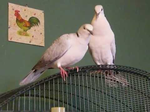 Udvarlás - Kacagó gerle pár - Klaudia Kacagó Gerléi