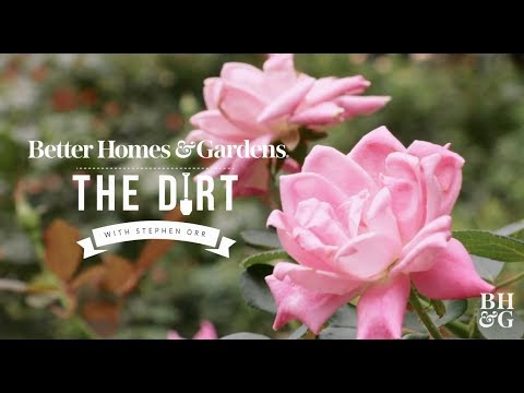 Roses for Beginners | The Dirt | Better Homes & Gardens