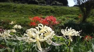 小出川の彼岸花ヒガンバナ曼珠沙華