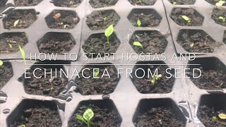 Starting Hosta and Echinacea Plants | INDOOR GROWING |Starting Seeds For Outdoor Planting