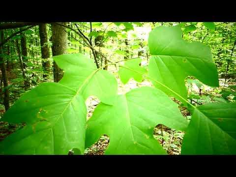 Неизвестная многоножка и тюльпанное дерево.Лириодендрон.