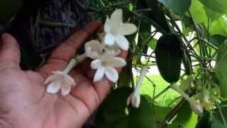 Stephanoitis floribunda. ( Madagascar jasmine, bridal wreath flower )