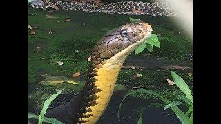 Rắn hổ Mang Chúa Khổng Lồ Loài Rắn Độc Nhất Thế Giới ( King Cobra snake) ... Phú Cần Thơ