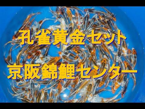 孔雀黄金 池揚げ  -Keihan Koi Farm-