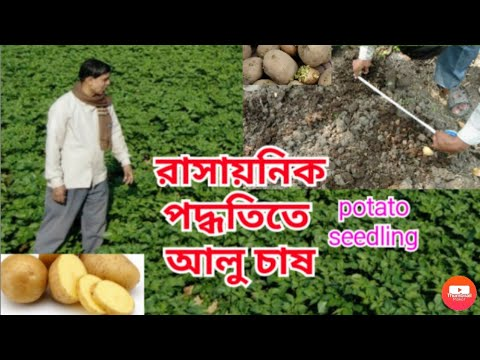 , title : 'ব্যবসা ভিত্তিক আলু চাষ। || Potato cultivation (inorganic method)
