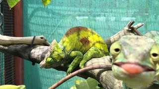 Cheeky Chameleon Photobombs Friend