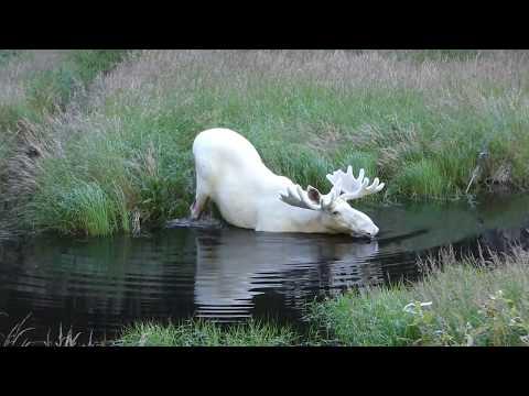 Rzadki okaz łosia albinosa uchwycony w szwedzkim jeziorze