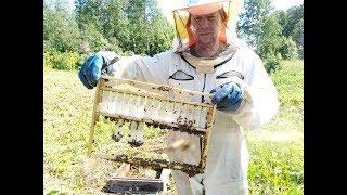 Замена маток у злых пчёл.