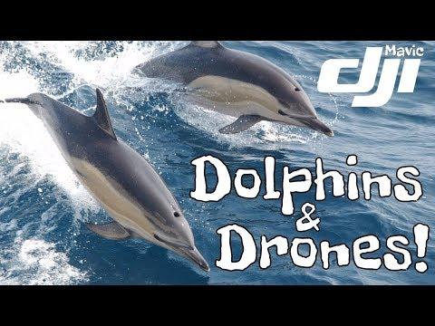 mavic-pro-drone-footage-of-large-dolphin-pod