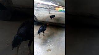 animales el gallo no tolera a nadie