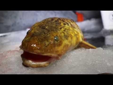Store knuder fanges ved isfiskeri