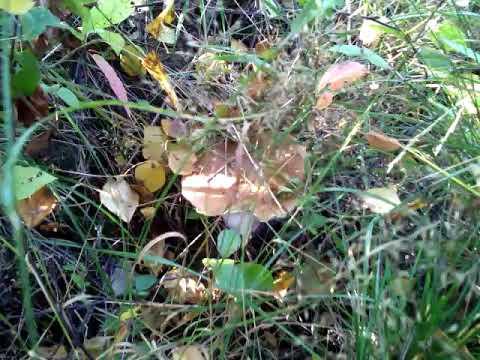 У нас под забором растут белые грибы. Лето 2018 года.